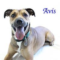 Adopt A Pet :: Avis - Bradenton, FL