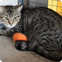 Domestic Shorthair Cat for adoption in West Des Moines, Iowa - Kiernan