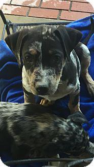 Australian Shepherd Mix Puppy for adoption in Studio City, California - Peek a boo