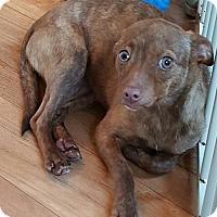 Adopt A Pet :: Vanessa - Baileyton, AL