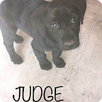 Adopt A Pet :: Judge - ST LOUIS, MO