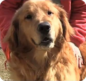 Golden Retriever Dog for adoption in New Canaan, Connecticut - Tanner