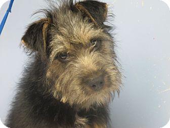 Schnauzer (Standard)/Airedale Terrier Mix Puppy for adoption in Washington, D.C. - Cricket Urgent in NE
