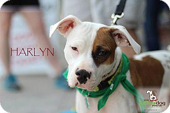 American Pit Bull Terrier/American Bulldog Mix Puppy for adoption in Alpharetta, Georgia - Harlyn