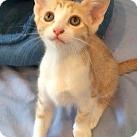 Adopt A Pet :: Calli - Irvine, CA