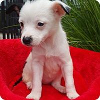 Adopt A Pet :: Sissy-Adoption pending - Bridgeton, MO