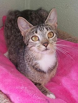 Domestic Shorthair Cat for adoption in Crossville, Tennessee - Gracie Ann