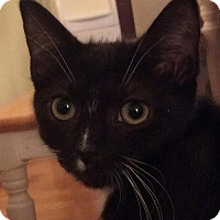 Domestic Shorthair Kitten for adoption in Baltimore, Maryland - Dash (Queenie)