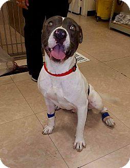 Pit Bull Terrier Mix Dog for adoption in Newport Beach, California - Tucker