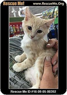 Domestic Mediumhair Kitten for adoption in Waldorf, Maryland - Benny