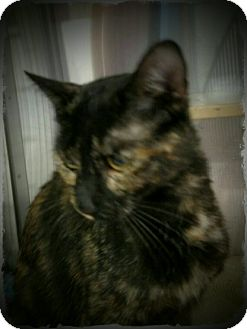 Domestic Shorthair Cat for adoption in Pueblo West, Colorado - Trinkit