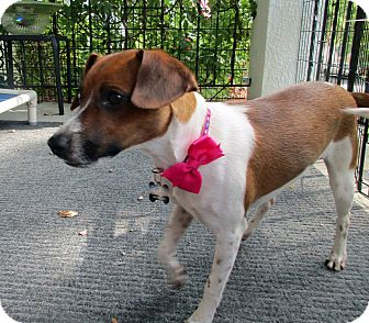 Jack Russell Terrier/Dachshund Mix Puppy for adoption in Baltimore, Maryland - Edna
