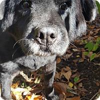 Adopt A Pet :: Marie - Fennville, MI