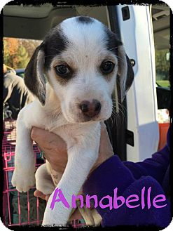 Beagle Mix Puppy for adoption in WESTMINSTER, Maryland - Annabelle