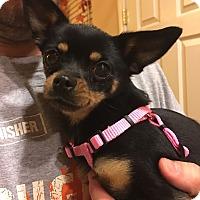 Adopt A Pet :: BonBon - Reno, NV