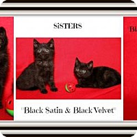 Bombay Kitten for adoption in Orland Park, Illinois - Black Satin & Black Velvet