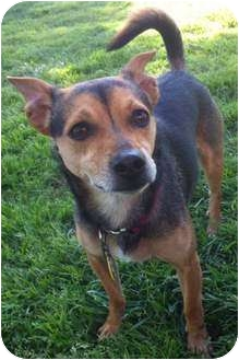 Chihuahua Mix Dog for adoption in Hagerstown, Maryland - Napoleon