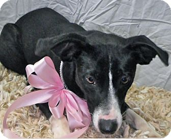 Terrier (Unknown Type, Medium)/Border Collie Mix Dog for adoption in Metamora, Indiana - Hobbit