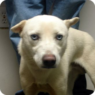 Husky Dog for adoption in Greencastle, North Carolina - Galen