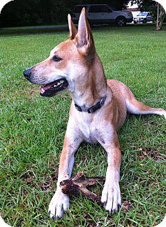Carolina Dog Mix Dog for adoption in Cranston, Rhode Island - Foxy (located in Louisiana)