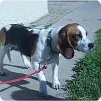 Adopt A Pet :: Snoopy 99 - Phoenix, AZ