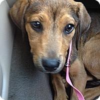 Adopt A Pet :: Ash - Cumming, GA