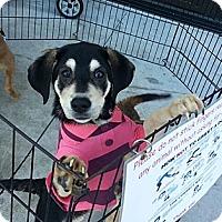 Adopt A Pet :: Alyssa - Miami, FL