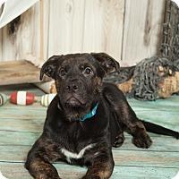 Adopt A Pet :: Newman - Bradenton, FL