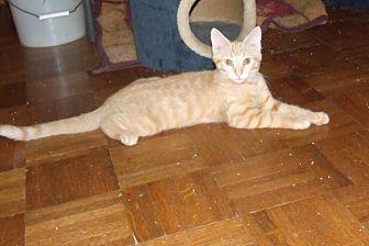 Domestic Shorthair Cat for adoption in Acme, Pennsylvania - BRUNO