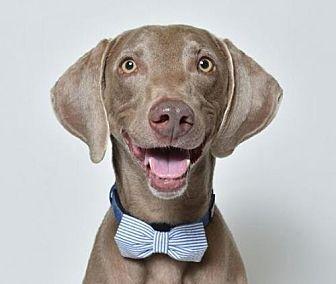 Weimaraner Dog for adoption in Birmingham, Alabama - Cooper 4