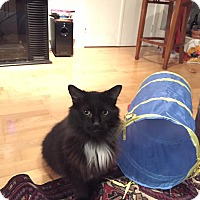 Domestic Longhair Cat for adoption in THORNHILL, Ontario - Spot
