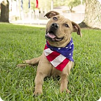 Labrador Retriever/Boxer Mix Dog for adoption in Houston, Texas - Felicity
