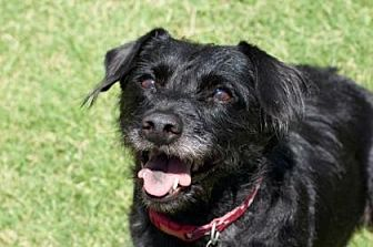 Cairn Terrier/Dachshund Mix Dog for adoption in Scottsdale, Arizona - Pepper