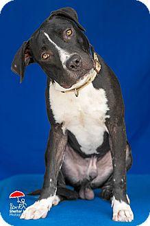 American Bulldog/Boxer Mix Dog for adoption in Walker, Louisiana - Phelps