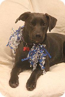 Labrador Retriever Mix Puppy for adoption in Bedford Hills, New York - Lilac