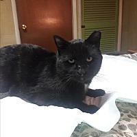 Adopt A Pet :: ASHER/ lap cat/ FIV+ lover boy - Bryn Mawr, PA