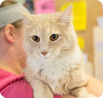 Domestic Longhair Cat for adoption in Washburn, Wisconsin - Figaro
