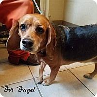 Adopt A Pet :: Bri - Washington, PA
