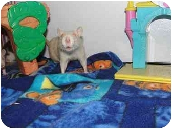 Rat for adoption in Hamburg, Pennsylvania - Noel and Tinsel