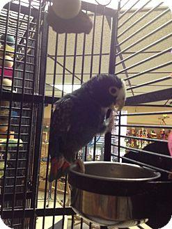 Pionus for adoption in Punta Gorda, Florida - Mr P