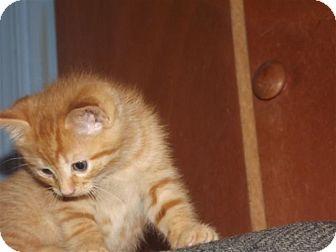 Domestic Shorthair Kitten for adoption in Trevose, Pennsylvania - Copper