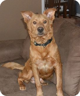 Retriever (Unknown Type)/Golden Retriever Mix Dog for adoption in Homewood, Alabama - Toby