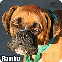 Boxer Dog for adoption in Encino, California - Rambo