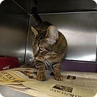 Adopt A Pet :: Cat I001 - Rocky Mount, NC