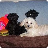 Adopt A Pet :: Onyx NON-SHEDDING! - Antioch, IL