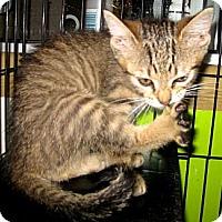Adopt A Pet :: Tora - Dallas, TX
