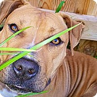 Adopt A Pet :: Chickie - Reisterstown, MD
