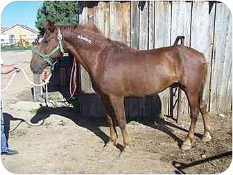 Mustang for adoption in Boone, Colorado - Disco BLM Mustang