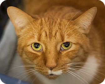 Domestic Shorthair Cat for adoption in Circleville, Ohio - Oshi