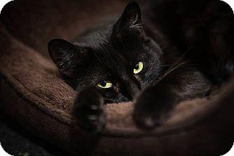 Domestic Shorthair Cat for adoption in Lowell, Massachusetts - Winter